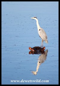 Grey Heron using a hippo as an island
