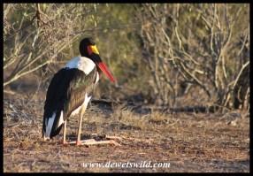 Saddle-billed Stork