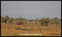 A big herd of eland we saw in the distance at Tinhongonyeni