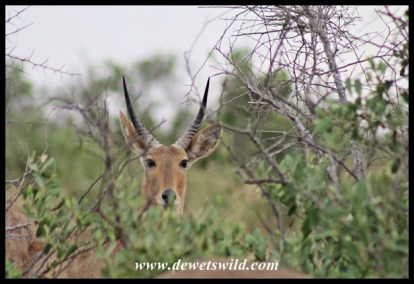 Reedbuck are often encountered along the Nshawu Marsh