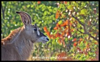Roan Antelope calf near Mooiplaas in the Kruger Park