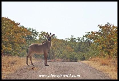 Roan Antelope cow near Mooiplaas in the Kruger Park