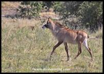 Juvenile Roan Antelope near Mopani in Kruger Park