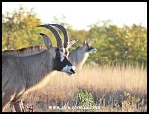 Roan Antelope Bull along the Nshawu marsh in Kruger Park