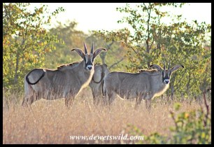 Roan Antelope herd along the Nshawu marsh in Kruger