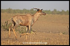 Posturing Tsessebe Bull at Tinhongonyeni in the Kruger Park
