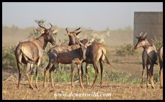 Tinhongonyeni in Kruger Park is a reliable spot to find Tsessebe