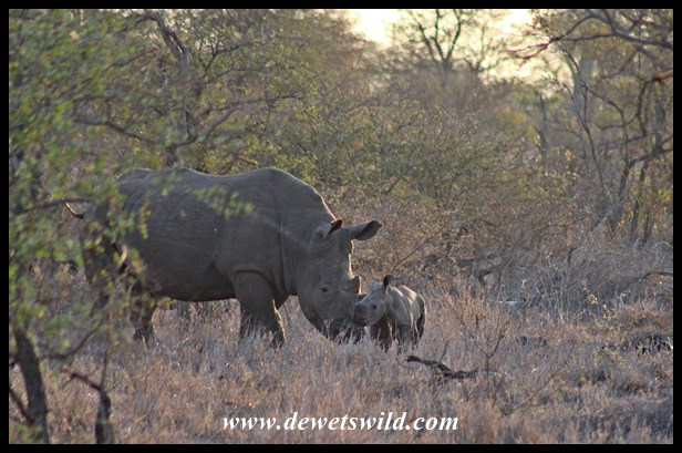 A tender moment between a White Rhino cow and her calf
