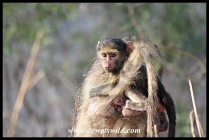 Baby Baboon getting a piggy-back ride