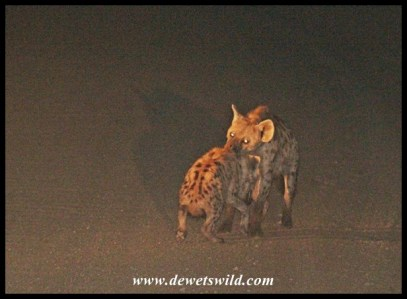 This Spotted Hyena mother couldn't tolerate her naughty child playing in the road one second longer!