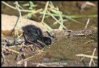 Black Crake chick at Shipandani Hide