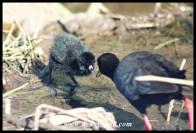 Black Crake chick at Shipandani Hide