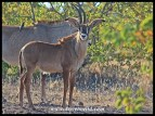 Just look at the ears on this Roan Antelope calf!