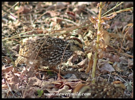 Natal Spurfowl chick scratching for food in Mopani