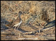 Senegal lapwing chick seen along the S36