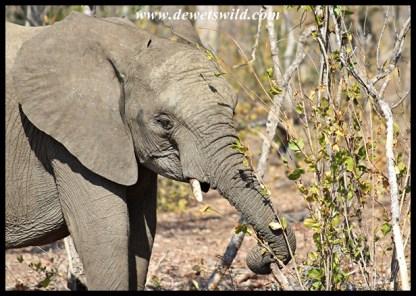 Elephant calf