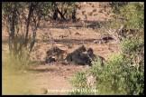 Playful Lion cubs at Kumana Dam
