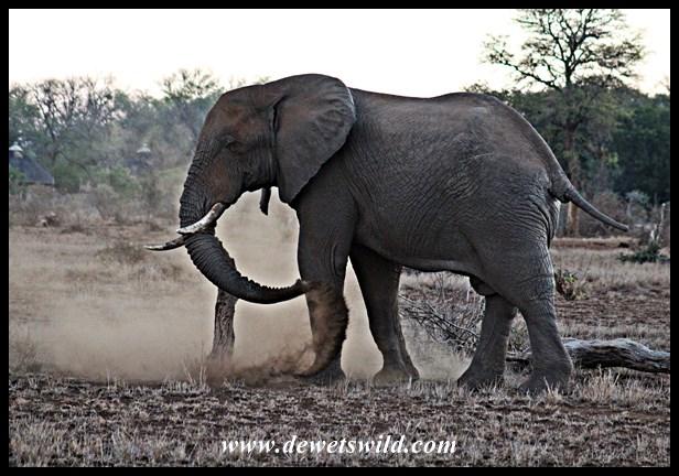 them big old bulls de wets wildnothing like an evening dustbath\u2026