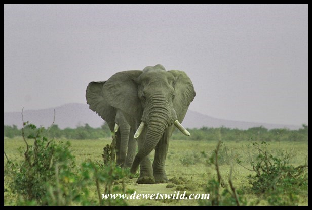 them big old bulls de wets wildHoe Groot Is Krugerpark.htm #18