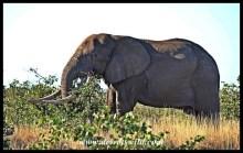 Impressive Tusker