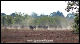Wildebeest herd kicking up dust at Makhadzi
