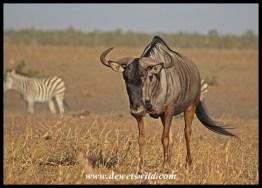 Wildebeest bull walking away from Tinhongonyeni