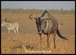 Wildebeest bull walking away from Tinhongonyeni