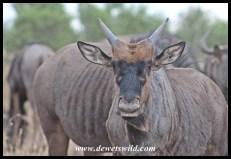 Curious Wildebeest Calf