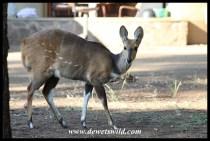 Bushbuck in Letaba