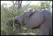 Tuskless elephant cow