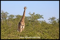 Giraffe in a sea of Mopani