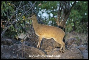 Spotlight on Klipspringer