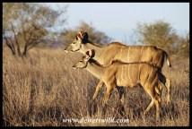 Kudu siblings