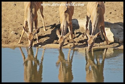 Kudu cows drinking