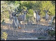Kudu bachelors