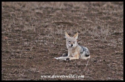 Black-backed jackal at Satara