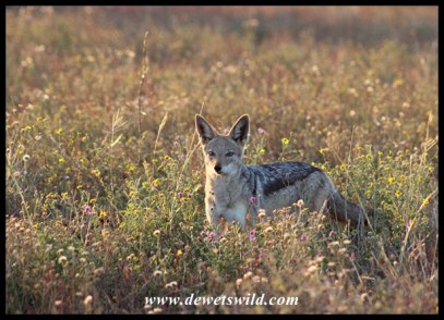Black-backed jackal at Tinhongonyeni, near Mopani