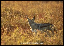 Black-backed jackal saying his morning prayer?