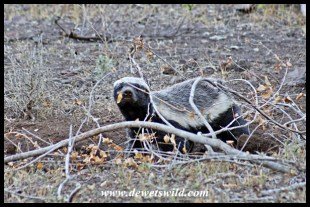 Bold honey badger at Nwanetsi Picnic Site