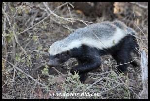 Bold honey badger at Nwanetsi Picnic Site