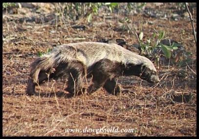 Foraging honey badger seen between Satara and Tshowane