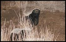 Foraging honey badgers just north of Satara