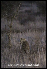 Early morning leopard at Nsemani Dam