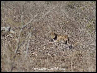 Leopard trying to hide among the thorns