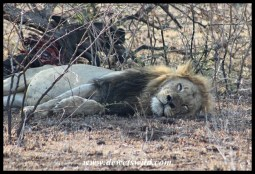 With a belly full of wildebeest, this lion doesn't have enough energy to get up