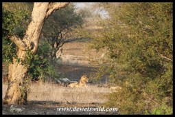 Lying in wait at the waterhole
