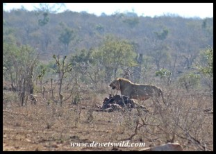 Another lion protecting his buffalo carcass from vultures near Tshokwane