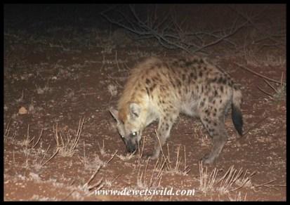 Hyena patrolling along Satara's fence