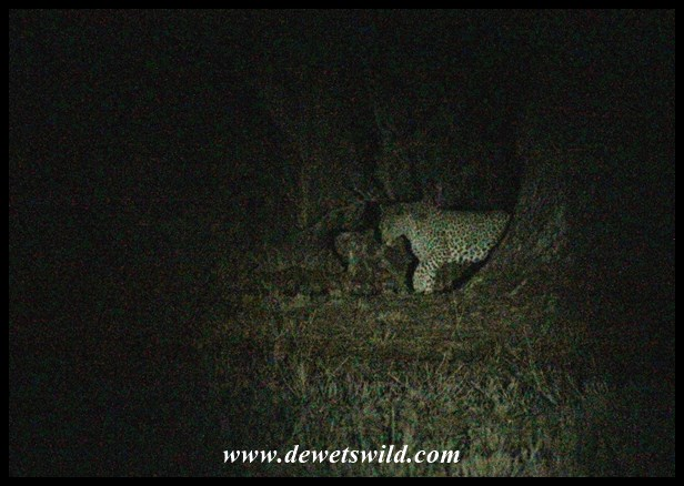 Leopard seen along Satara's fence