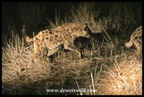 Spotted Hyena on Satara Night Drive